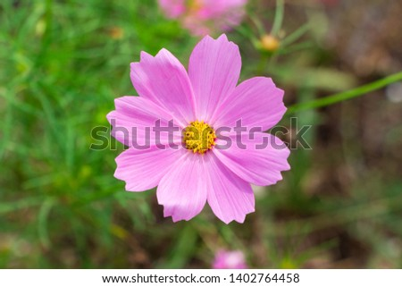 Garden cosmos (Cosmos bipinnatus) pink flower closeup - Davie, Florida, USA