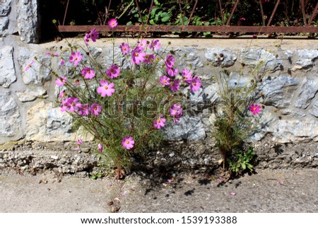 Garden cosmos or Cosmos bipinnatus or Mexican aster half hardy annual plant with fully blooming bright pink flowers with pointy leaves growing from small crack in concrete in front of stone fence