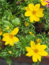 Garden Cosmos Sulphureus Ladybird Dwarf Lemon or bright yellow Cosmea flowers, close up. Cosmos Bipinnatus or Mexican Aster is popular, herbaceous, flowering plant in the sunflower family, Asteraceae.