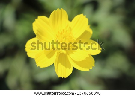 garden cosmos yellow. Cosmos bipinnatus, commonly called the garden cosmos or Mexican aster, is a medium-sized flowering herbaceous plant native to the Americas.