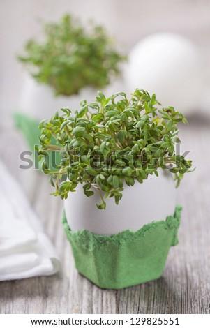 Garden cress in an eggshell