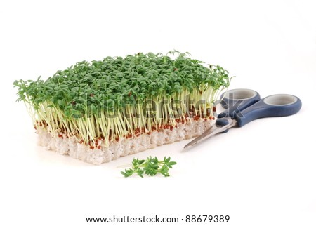 Garden cress isolated on white background, with   scissors