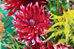 Garden dahlia flower Dahlia pinnata