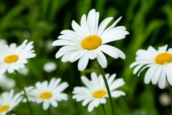 Garden daisies (лат. Leucanthemum vulgare) on a natural background. Flowering of daisies. Oxeye daisy, Daisies, Dox-eye, Common daisy, Dog daisy, Moon daisy. Gardening concept