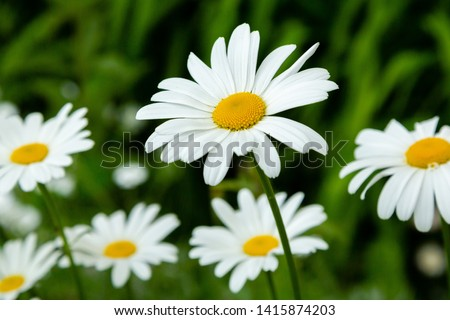 Garden daisies (лат. Leucanthemum vulgare) on a natural background. Flowering of daisies. Oxeye daisy, Daisies, Dox-eye, Common daisy, Dog daisy, Moon daisy. Gardening concept Stock foto ©