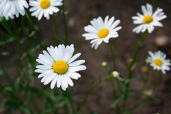 Garden daisies, Leucanthemum vulgare, on a natural background. Flowering of daisies. Oxeye daisy, Daisies, Dox-eye, Common daisy, Dog daisy, Moon daisy. Gardening concept.