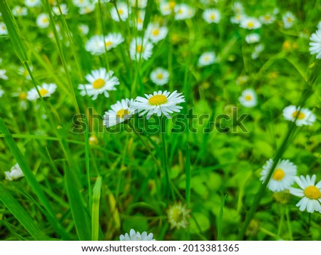 Garden daisies on a natural background.Flowering of daisies. Oxeye daisy, Leucanthemum vulgare, Dox-eye, Common daisy, Dog daisy. Spring daisy in the me