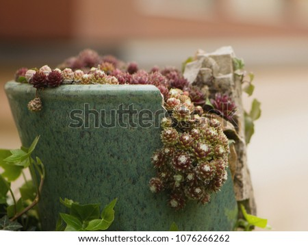 """Garden decoration of wild stone roses in a ceramic pot. Houseleeks grow on walls and roofs, and are popular cultivated plants. Sempervivum means """"always living,"""" or the common name of live forever."""
