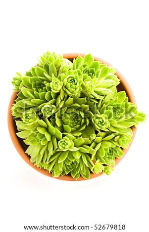 Garden flower pot with spring sempervivum isolated on white background