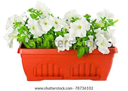 Garden flower pot with white petunia plant isolated on white