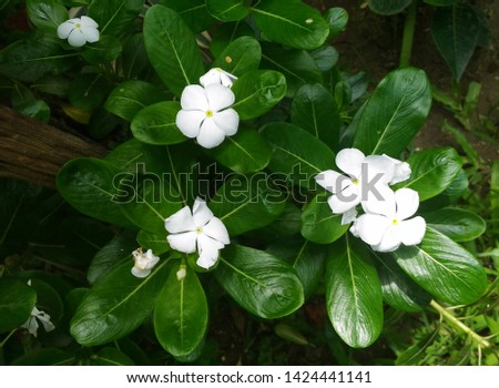 Garden flowering plant- Catharanthus roseus. Family-Apocynaceae.Common name- Madagascar periwinkle, rose periwinkle, rosy periwinkle, Cape periwinkle, old maid. It is an ornamental and medicinal plant #1424441141