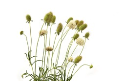 Garden flowers in late summer isolated on white background. Flowers with seed heads  left after flowering.