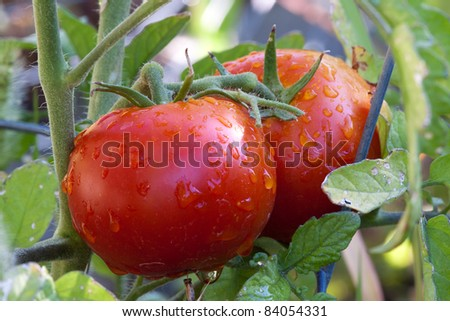 Garden Fresh Red Ripe Tomatoes on Vine