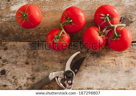 Garden fresh ripe red tomatoes picked from the vine lying on an old rustic wooden table with pruning shears or secateurs, overhead view