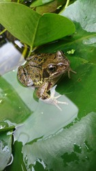 Garden Frog on lillypad