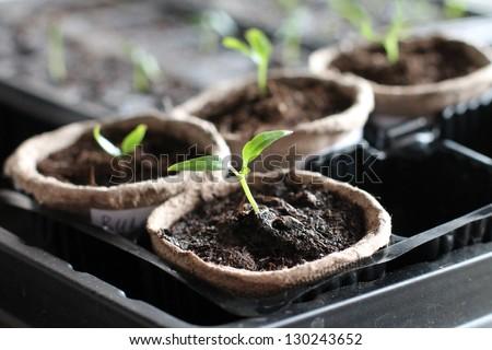 Garden grow vegetable. Eco. germinacion