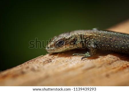 Garden Lizard. Garden Lizards are lizard found widely in Asian countries.