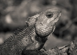 Garden Lizard or Indian Garden Lizard. World Lizard Day, Detail eye portrait of exotic tropical animal in green nature habitat in india isolated on dark background.