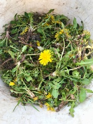 Garden maintenance: Pulling out weeds, especially yellow blooming dandelion removal including their roots during spring time as part of an organic lawn care