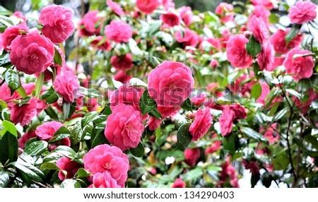 Garden of beautiful pink camellia flowers - stock photo