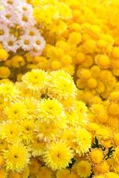 Garden of Chrysanthemum flower