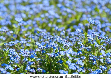 Garden of forget me not blue flowers, with shallow depth of field