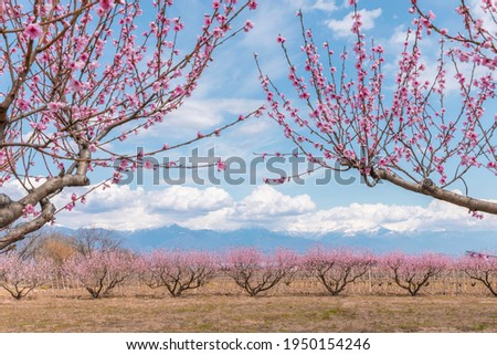 Garden of spring peach blossom in kakheti, Georgia. caucasus mountains, clouds and nature background.  springtime blossom, pastel and soft floral tones. spring tree flowering panorama landscape