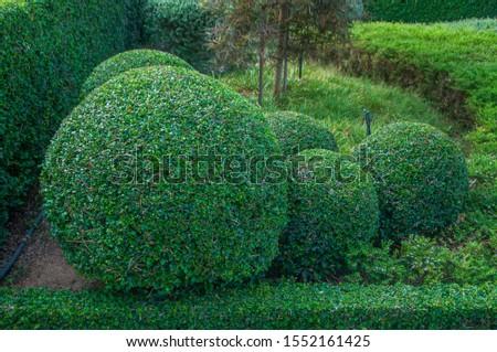 Garden of tako tree bending. Bonsai Ebony element tree for decorate architect design.