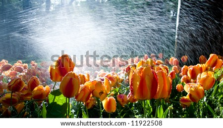 Garden of tulips against the light with water spray adding brilliance