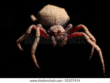 Garden Orb web spider macro shot on black background - stock photo