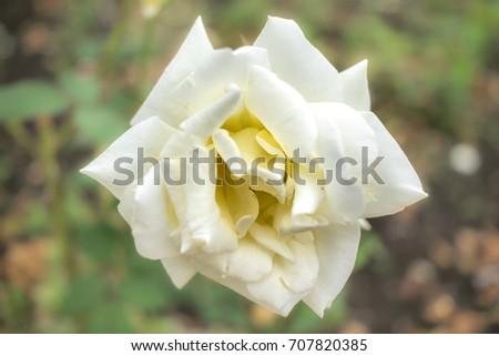 Shutterstock Garden Party; Hybrid Tea Rose, White Rose Originally Produced by the Breeder Swim in USA, 1959