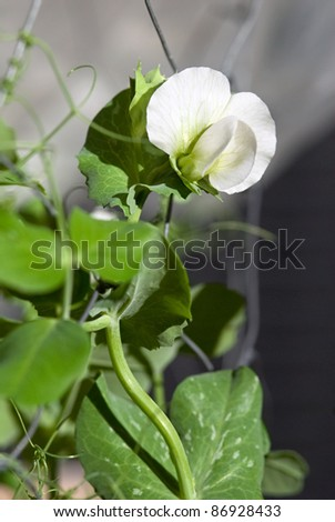 Garden Pea Flower with Vine