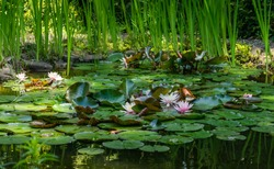 Garden pond with blooming water lilies and lotuses. Beautiful pond landscape with big stones on shore. Nature concept for design. Place for your text. Atmosphere of relaxation and tranquility