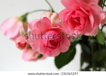 Garden roses. Bunch of pink roses. Romantic floral decoration.