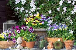garden scene with viola flowers and sanvitalia procumbens in terracotta pots