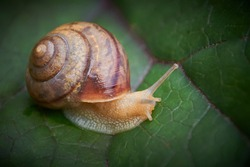 garden snail close up on a leaf of buzulnik toothed in the garden, copy space.