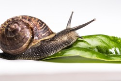 Garden Snail crawling towards green leaf on white background
