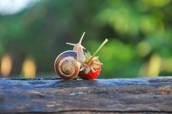 Garden snail creeping on a ripe strawberry. Snail on strawberry