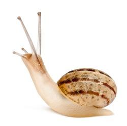 Garden Snail, Helix aspersa, in front of white background