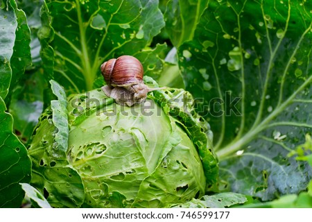 Garden snail (Helix aspersa) is sitting on cabbage in the gardenn, leaves with holes, eaten by pests