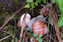 Garden snail (Helix aspersa) on fall grass
