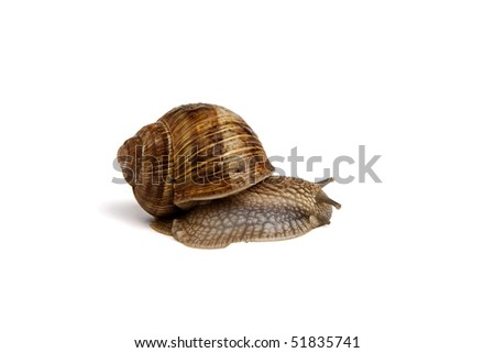 Garden snail (Helix aspersa) on white background