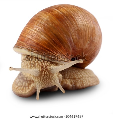 Garden snail (Helix aspersa) Snails provide an easily harvested source of protein to many people around the world.