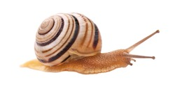 Garden snail in front, isolated on white background.
