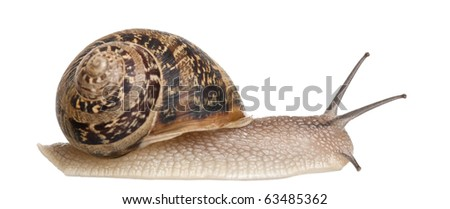 Garden Snail in front of white background - stock photo