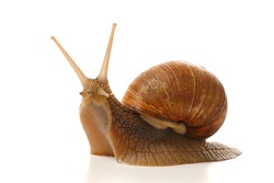 garden snail isolated on white background