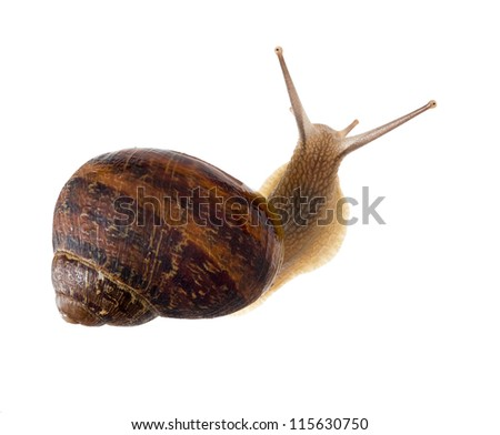 Garden snail isolated over white background