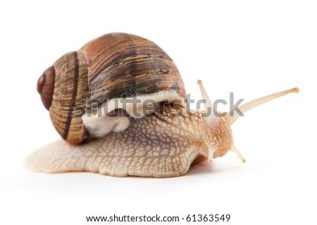 garden snail on a white background - stock photo