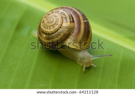 Garden snail on banana palm green leaf