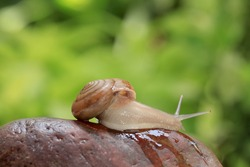 Garden snail on stone with green background.